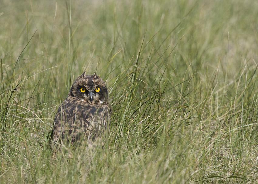 Beaverhead County Short-eared Owl chick