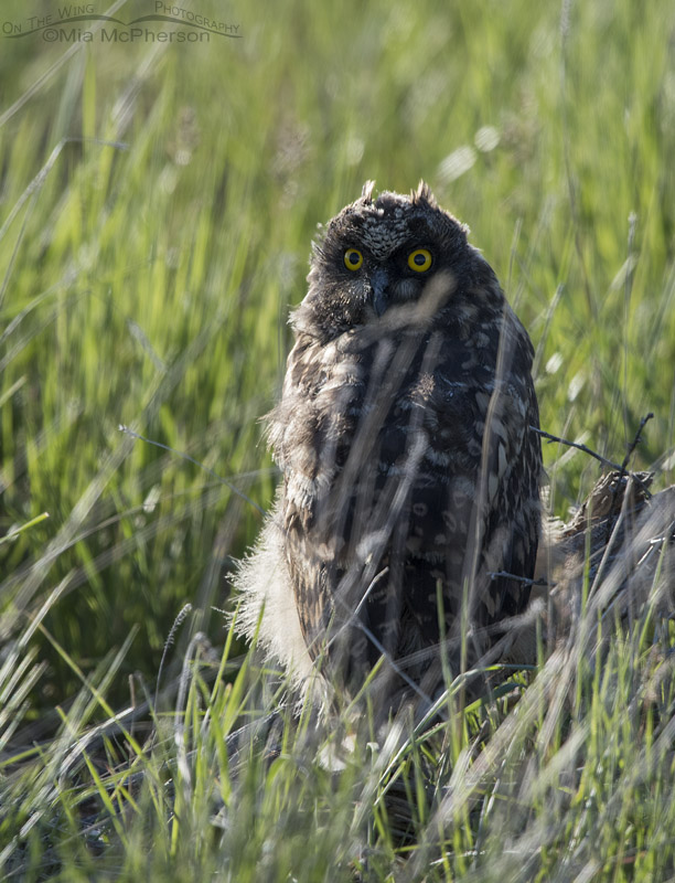Very young Short-eared Owl chick
