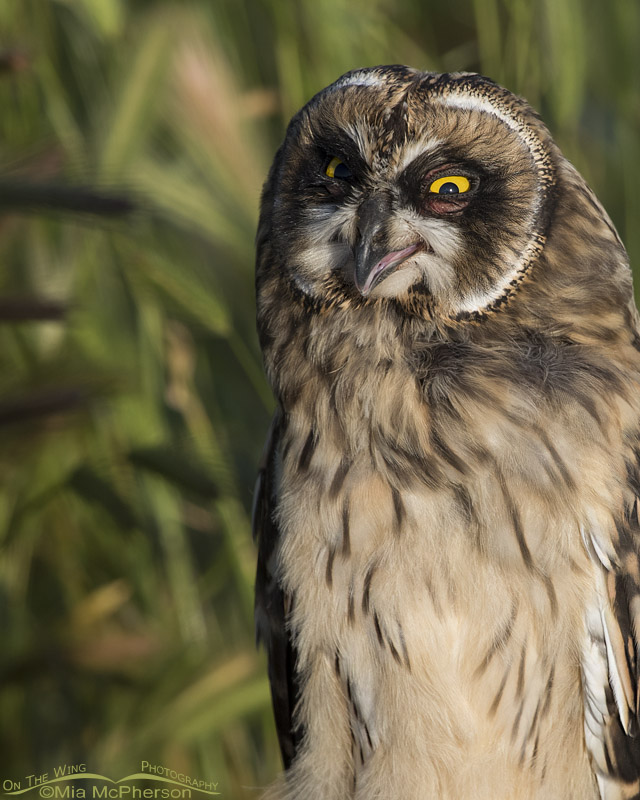 Short-eared Owl fledgling fluttering its gular sac