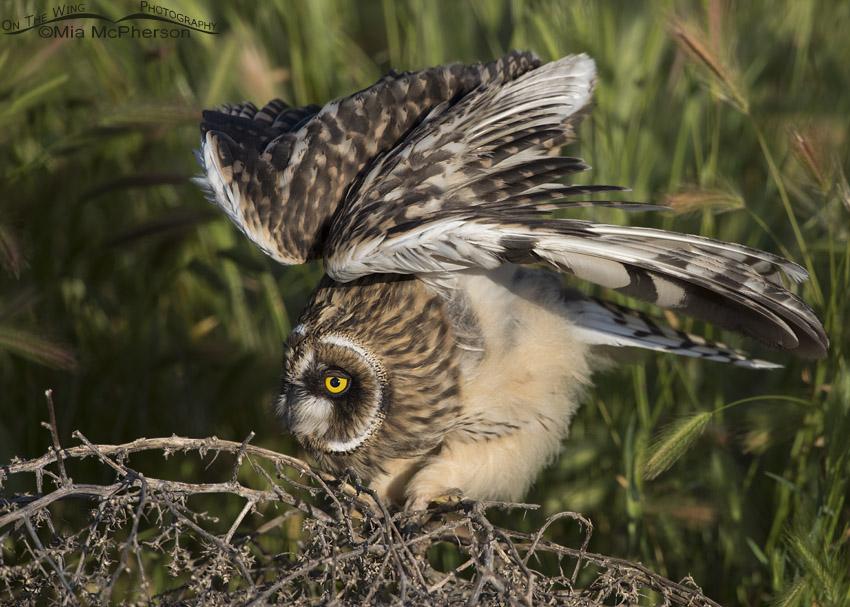 Fledgling Short-eared Owl lifting its wings