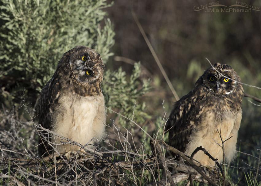 Short-eared Owl chicks in morning light