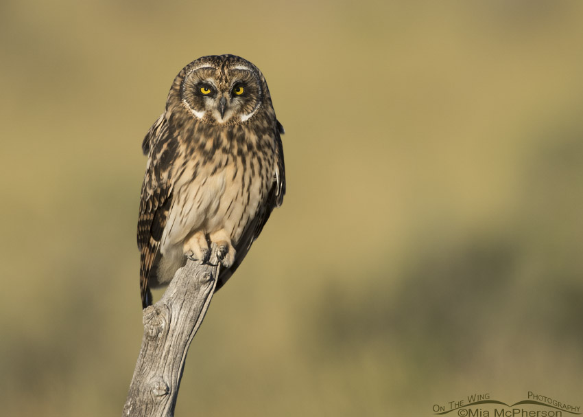 Fledgling Short-eared Owl perched on a gnarly post