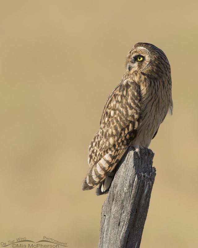 Juvenile Short-eared Owl in northern Utah