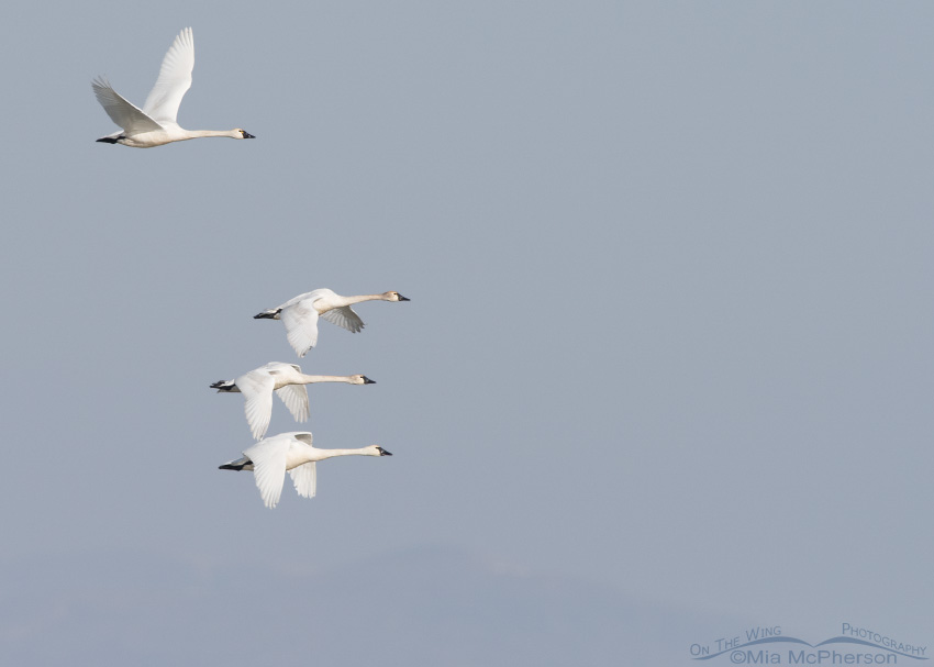 Four Tundra Swans in flight