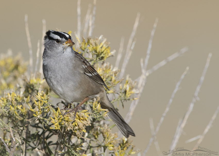 White-crowned Sparrow eating Rabbitbrush seeds