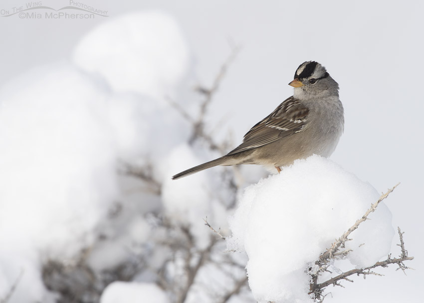 Adult White-crowned Sparrow on a snowy perch