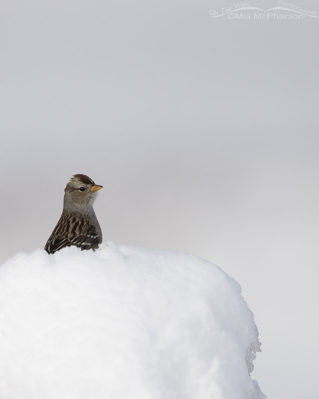 Juvenile White-crowned Sparrow perched on a mound of snow