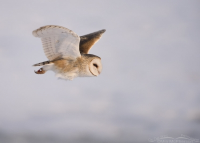 Barn Owl in flight near the snow covered Great Salt Lake