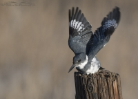 Male Belted Kingfisher lifting off from a post