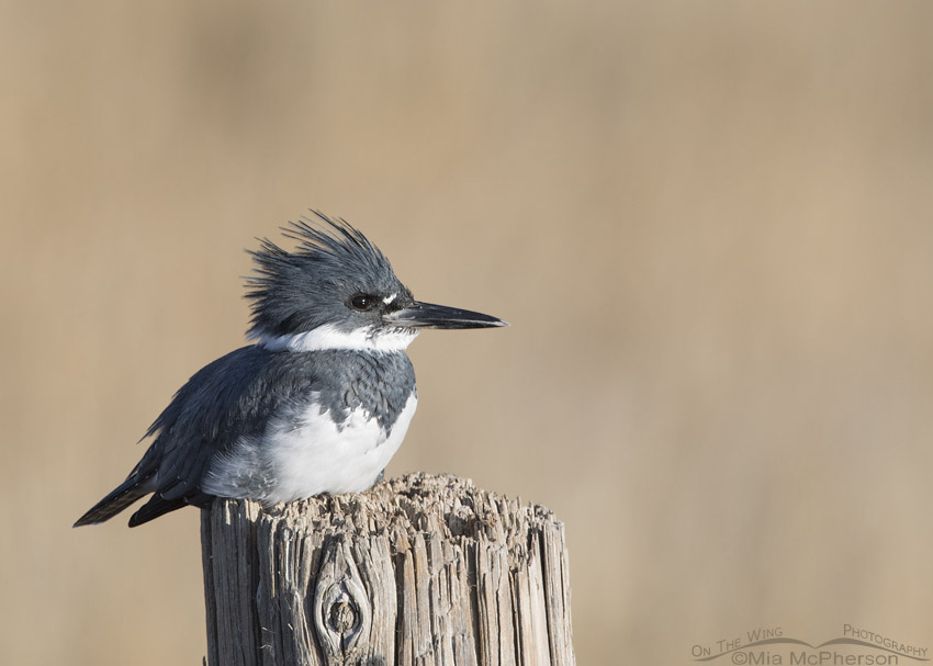 Resting Belted Kingfisher male