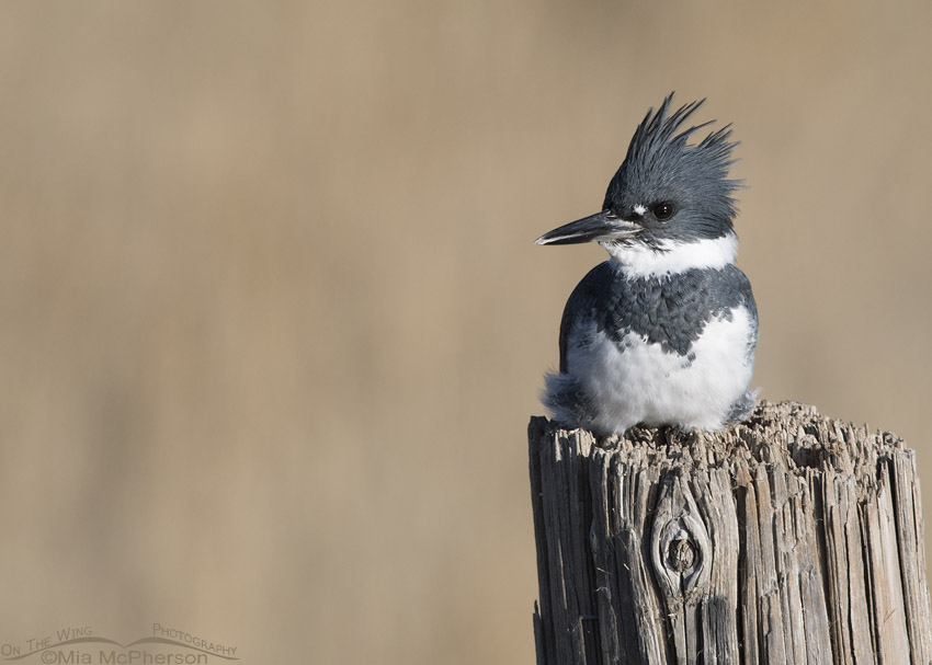 Perched Male Belted Kingfisher
