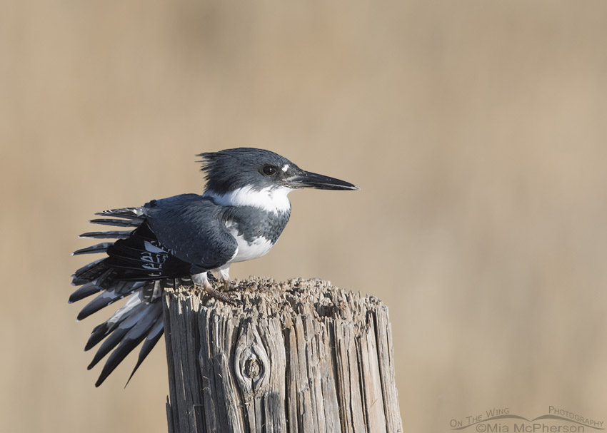 Perched male Belted Kingfisher at Farmington Bay