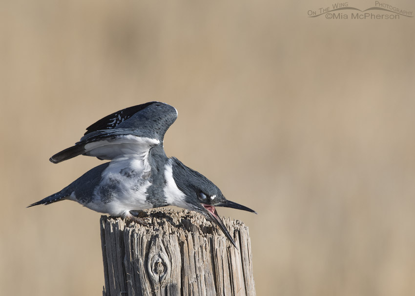 Belted Kingfisher with exposed nictitating membrane