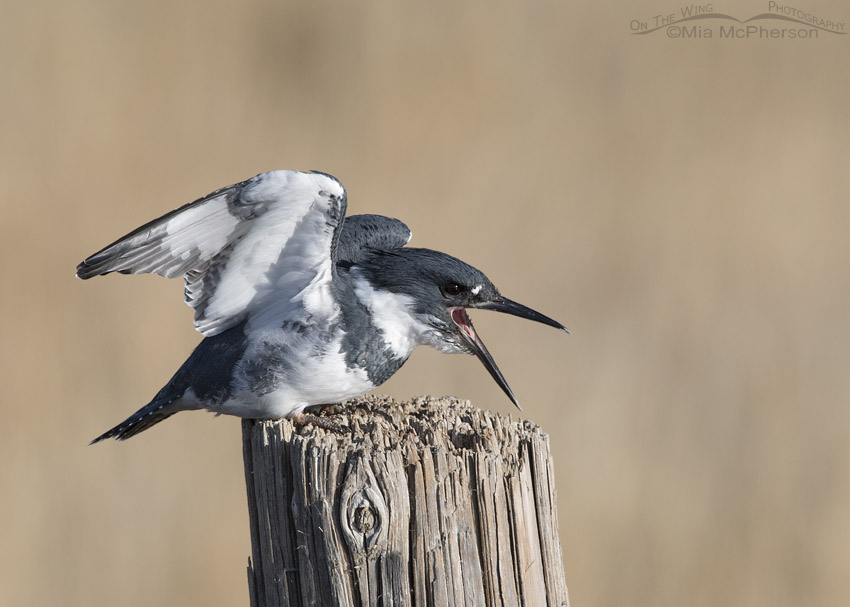 Male Belted Kingfisher with open bill