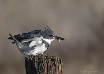 Male Belted Kingfisher with tiny fish