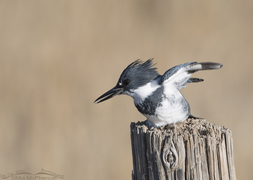 Belted Kingfisher male about to take off