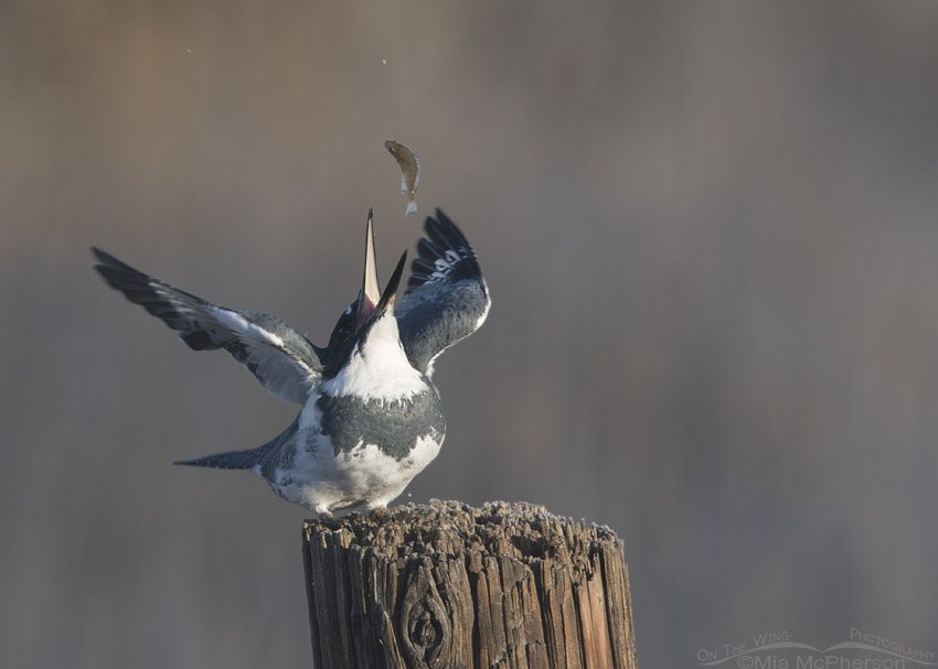 Male Belted Kingfisher tossing his prey into the air