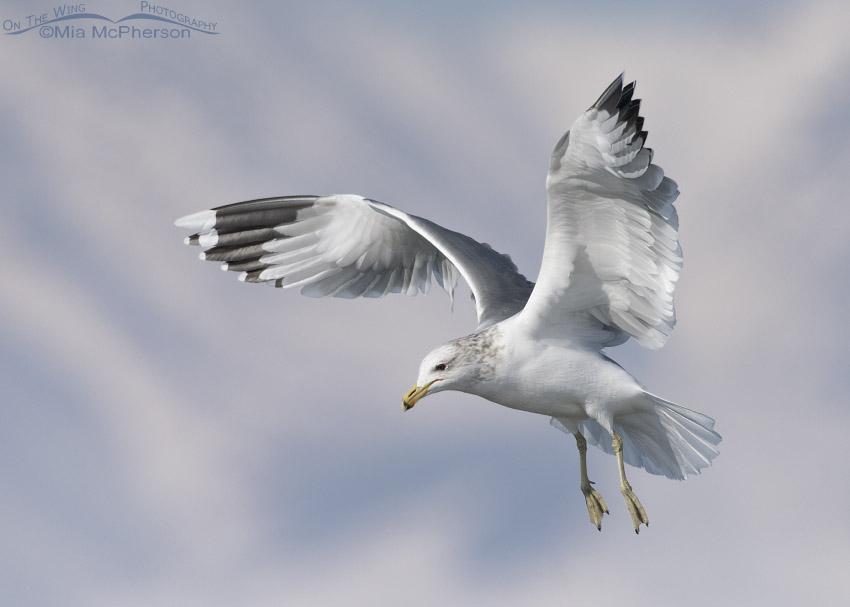 Winter California Gull hovering over the Bear River