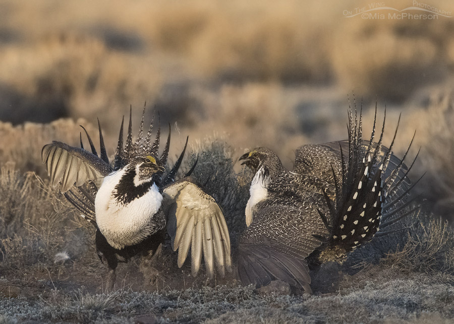 Battling male Greater Sage-Grouse