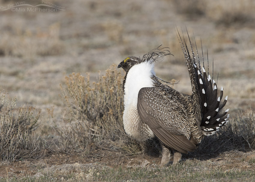 Strutting male Greater Sage-Grouse