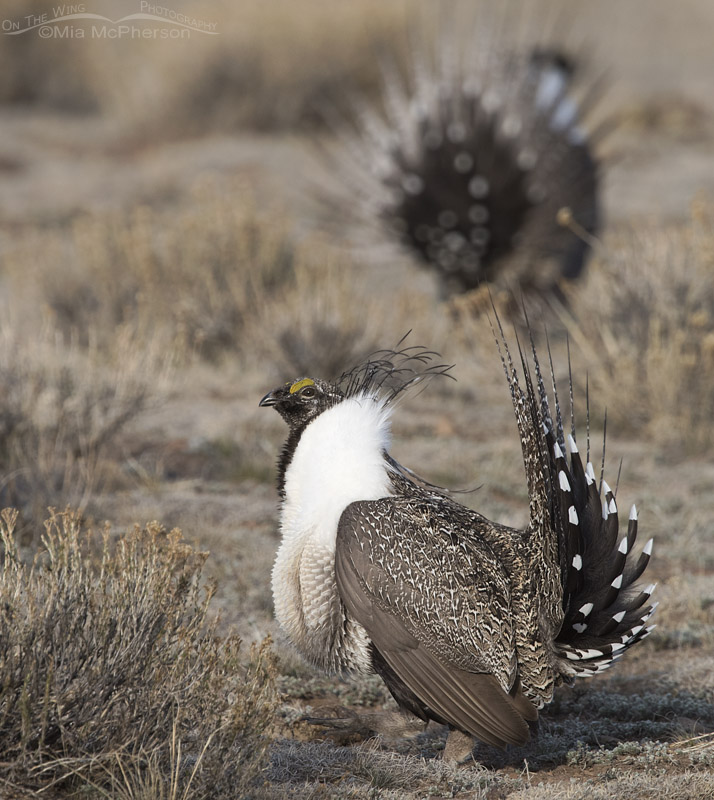Greater Sage-Grouse Images