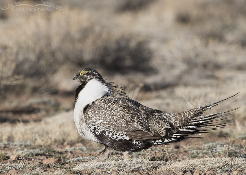 Male Greater Sage-Grouse walking off the lek