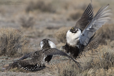 Greater Sage-grouse males sparring at dawn on the lek