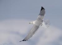 Herring Gull flying over Bear River MBR