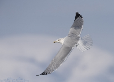 Herring Gull flying over Bear River MBR