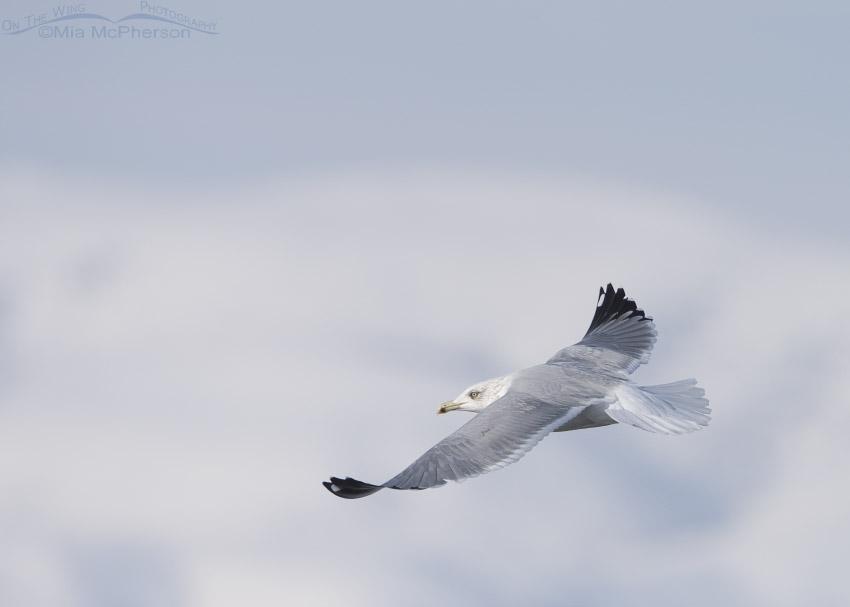 Winter Herring Gull in Utah