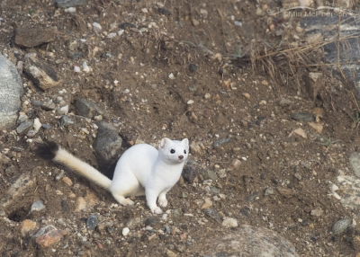 Long-tailed Weasel on a hillside