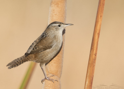 Farmington Bay Marsh Wren