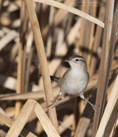 Marsh Wren Splits