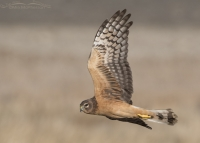 Juvenile Northern Harrier female in flight