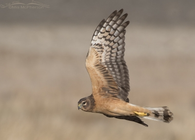 Juvenile Northern Harrier female in flight