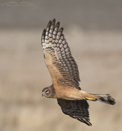 Juvenile female Northern Harrier flying by
