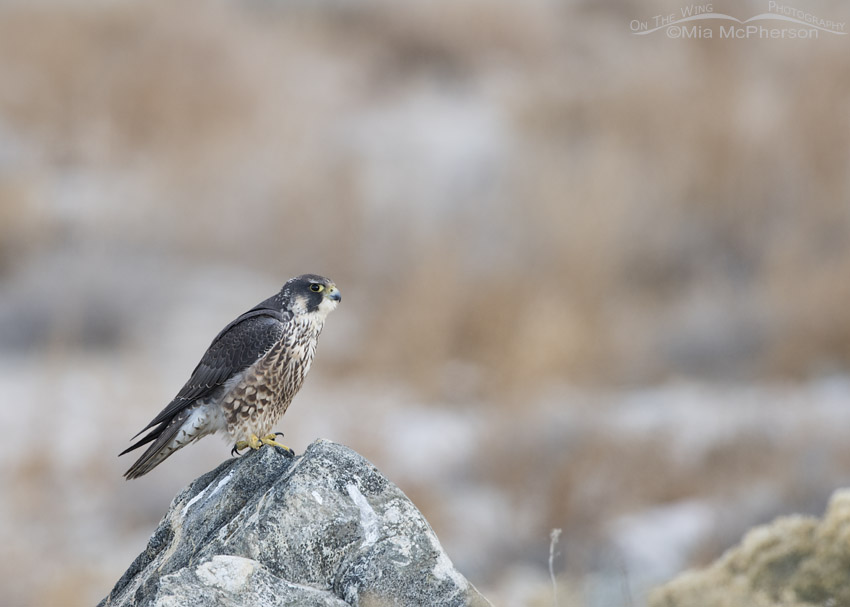 Immature Peregrine Falcon near the shore of the Great Salt Lake
