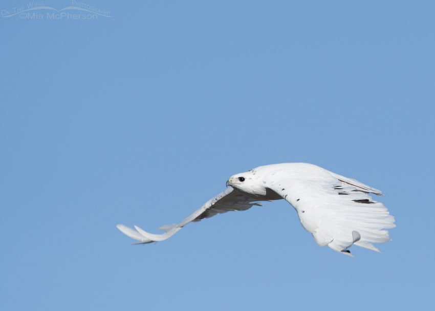 Flying leucistic Red-tailed Hawk