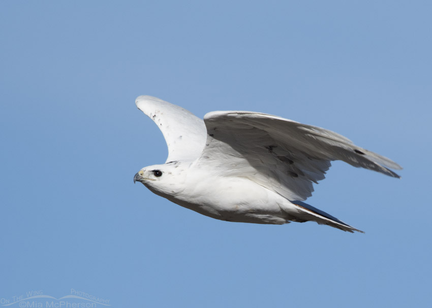 Leucistic Red-tailed Hawk adult flying by