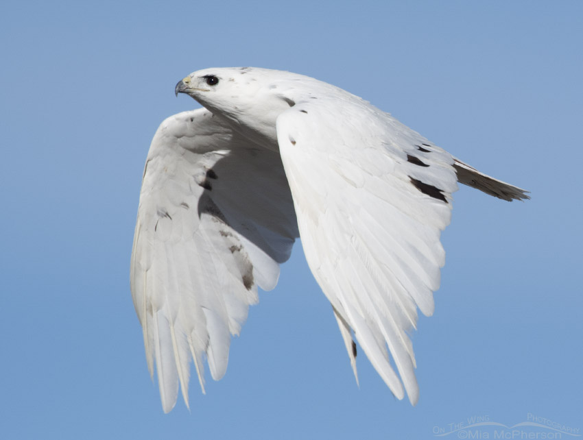 Close up of leucistic Red-tailed Hawk in flight