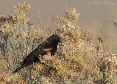 Red-winged Blackbird male perched in Rabbitbrush