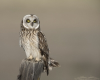 Adult Male Short-eared Owl on a post