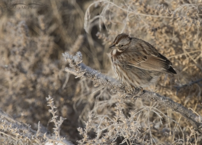 Song Sparrow without a tail