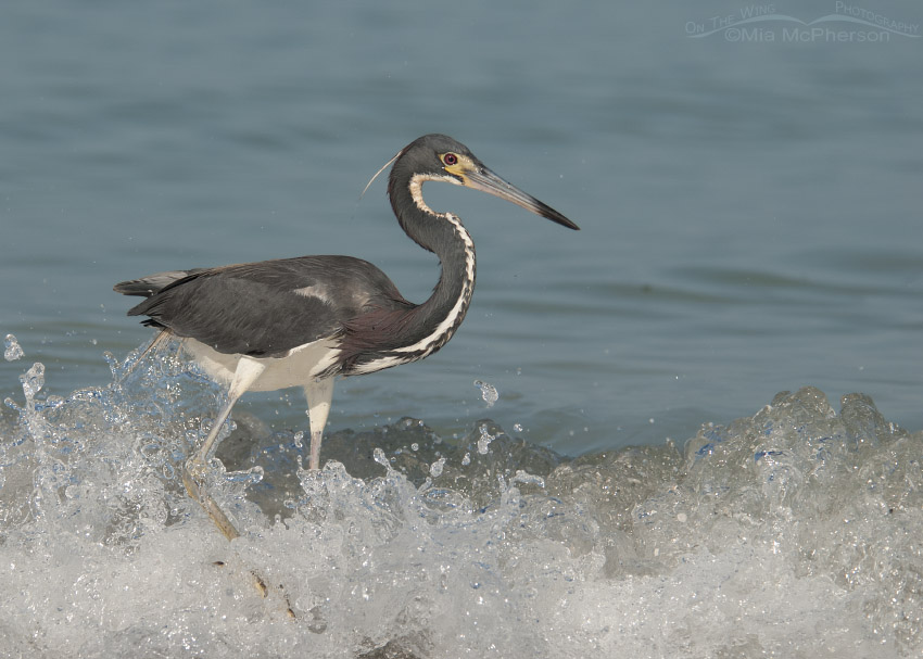 Tricolored Heron in the Gulf surf