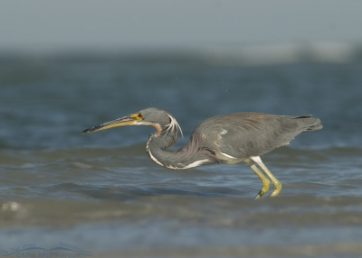Tricolored Heron looking for breakfast in the waves