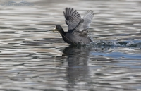 American Coot being chased for the food in its bill
