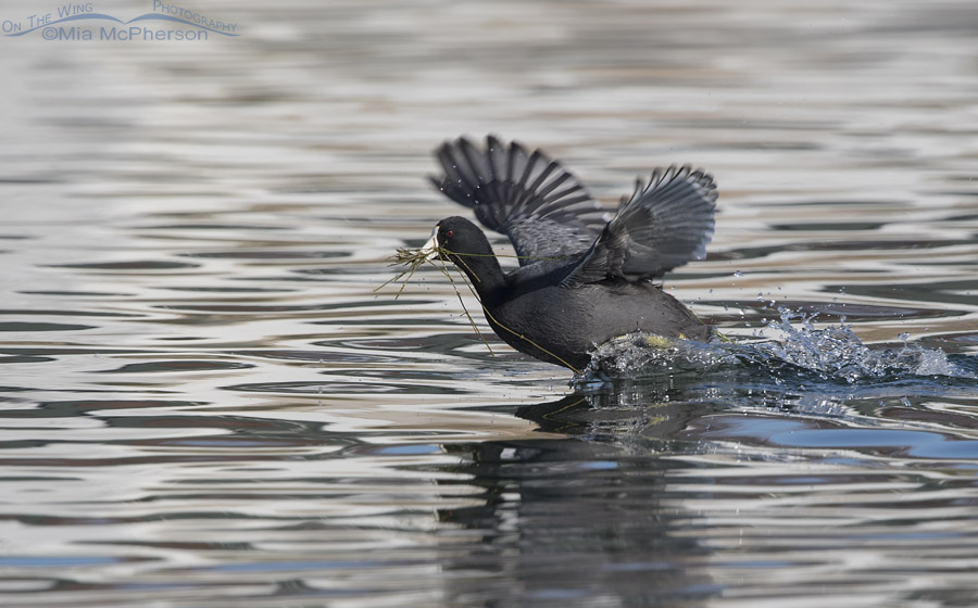 American Coot running across a pond