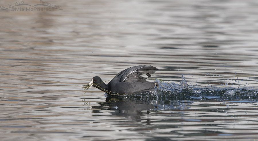 American Coot scooting across a pond with food in its bill