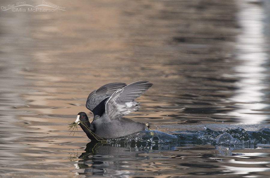 American Coot evading another coot