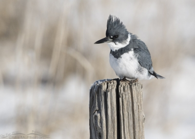 Belted Kingfisher after eating his prey